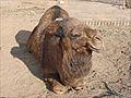 Dromadaire (Khiva, Ouzbékistan) (5606979588).jpg