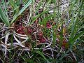 Drosera rotundifolia (15333418392).jpg