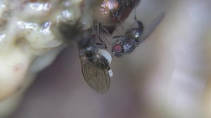 File:Drosophilidae - 2014-05-17.webm