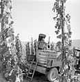 Druivendrager met stamper bij een kuip met druiven, Bestanddeelnr 254-4174.jpg