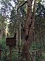 Dubravos medžiai dvyniai - panoramio.jpg
