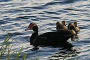 Duck with ducklings in Tradewinds Park 2.JPG