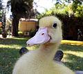 Duckling close up.jpg