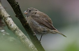 Dull-colored Grassquit (Tiaris obscurus) (cropped).jpg