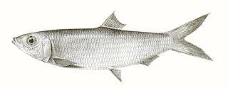 Rainbow sardine species of fish