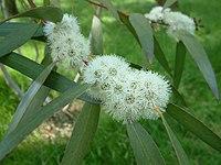 E. gregsonaiana fleurs