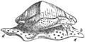 EB1911-Gastropoda 32.png