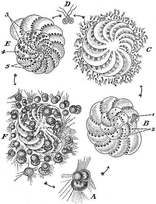 EB1911 Foraminifera - Life Cycle of Polystomella crispa.jpg