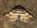 Earophila badiata - Shoulder stripe - Ларенция розанная (40046359565).jpg