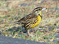 Eastern Meadowlark RWD3.jpg