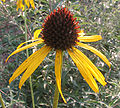 Echinacea paradoxa - yellow coneflower - desc-flower from side.jpg