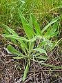 Echium vulgare Żmijowiec zwyczajny 2020-06-07 06.jpg