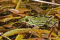 Edible Frog (Pelophylax esculentus) (17198900716).jpg