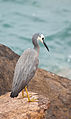 Egretta novaehollandiae -Port Stephens, New South Wales, Australia-8.jpg