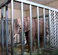 Eléphant d'Afrique Zoo d'Amnéville 27082010 02.jpg
