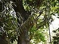 Elaeodendron orientale (4610510971).jpg
