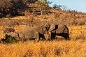 Elefantes africanos de sabana (Loxodonta africana), parque nacional Kruger, Sudáfrica, 2018-07-25, DD 11.jpg