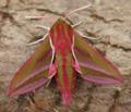 Elephant hawk moth - deilephila elpenor (28667406158).png