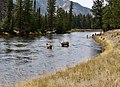 Elk by the creek in Yellowstone National Park.jpg