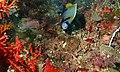 Emperor Angelfish (Pomacanthus imperator) (6089206350).jpg