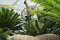 Encephalartos altensteinii-IMG 5440.jpg