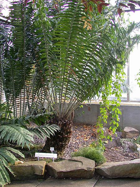 Encephalartos gratus 450px-Encephalartos_gratus_20070226-1526-38