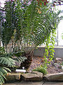 Encephalartos gratus 20070226-1526-38.JPG