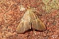 Endotricha flammealis (BG) (31015691121).jpg