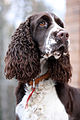 English springer spaniel vejka.jpg