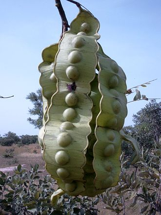 Entada - Entada africana fruit
