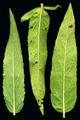 Epilobium ciliatum ssp ciliatum leaves lower.png