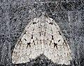 Epirrita autumnata 01.jpg