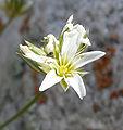 Eremogone congesta var charlestonensis 5.jpg