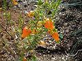 Erica blenna var. grandiflora.JPG