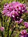 Erica corifolia Hangklip.jpg