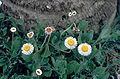 Erigeron-procumbens01.jpg