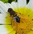 Eristalis sp. - Flickr - gailhampshire.jpg