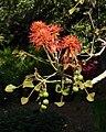 Erythrina abyssinica (1).jpg