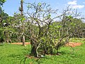Erythrina speciosa - Jardim Botânico de São Paulo - IMG 0352.jpg