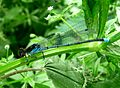 Erythromma najas. Large Red-eye - Flickr - gailhampshire.jpg