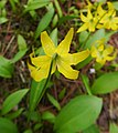 Erythronium grandiflorum ssp. grandiflorum backside of flower.jpg