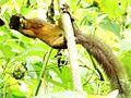 Especie de ardilla (Sciurus), Henri Pittier, Venezuela 4.jpg