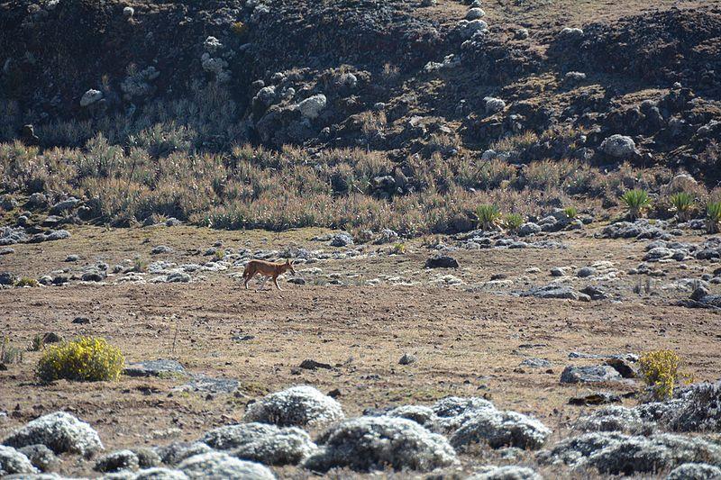 File:Ethiopian Wolf (16153112330).jpg