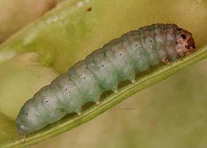 Etiella zinckenella - Caterpillar