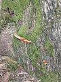Eucalipton de Viernoles musgo.jpg