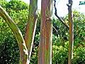 Eucalyptus deglupta-trees.jpg