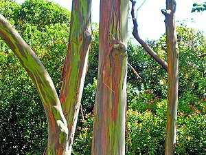 Eucalyptus deglupta - View of multi-coloured bark