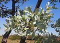 Eucalyptus pruinosa foliage.jpg