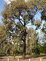 Eucalyptus sideroxylon 3.jpg
