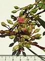 Eucalyptus tricarpa - inflorescence.jpg